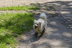 El perro esquimal americano blanco corre en la trayectoria en el prado verde, parque del norte viejo natural fotos de archivo