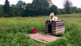 El perro esquimal blanco protege el territorio El perro en los guardias de cadena el jardín verde almacen de metraje de vídeo