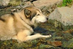 El perro esquimal blanco y negro está gozando, funcionamiento, abrazando en el agua, muda Perro esquimal que nada fotos de archivo libres de regalías
