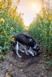 El perro esquimal cava un agujero en el campo foto de archivo