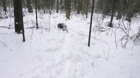 El perro esquimal de la raza del perro en el bosque del invierno lanza un juguete en la nieve almacen de metraje de vídeo