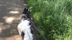 El perro esquimal de Sibirian con la correa de perro negra usada camina en el camino usado