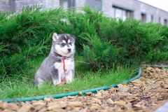 El perro esquimal del perro de perrito está esperando en la calle, con el espacio de la copia texto, concepto solo del amor Fotos de archivo