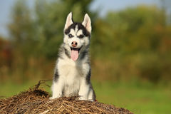 El perro esquimal del perrito con diverso color observa con su lengua que cuelga o Foto de archivo libre de regalías