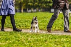 El perro esquimal del perrito no es la manera en el owner& x27; pies de s imagen de archivo libre de regalías
