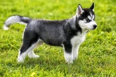 El perro esquimal del perrito se coloca en la hierba Imagen de archivo