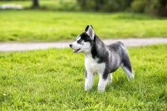 El perro esquimal del perrito se coloca en la hierba y la mirada lejos Imagen de archivo libre de regalías