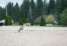 El perro esquimal fiel está esperando a su dueño Imagen de archivo libre de regalías