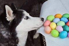El perro esquimal huele los huevos de Pascua fotos de archivo libres de regalías