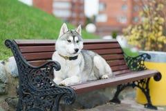 El perro esquimal miente en el banco Imágenes de archivo libres de regalías