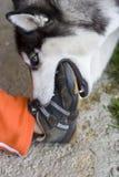El perro esquimal muerde el pie del niño Foto de archivo