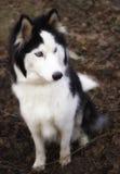 El perro esquimal siberiano Imagen de archivo