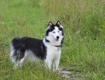 El perro esquimal siberiano Imagenes de archivo