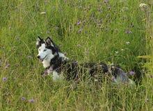 El perro esquimal siberiano Imágenes de archivo libres de regalías