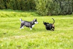El perro esquimal y los impuestos de los perritos juegan en la hierba Imagen de archivo libre de regalías