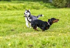 El perro esquimal y los impuestos de los perritos juegan en la hierba Fotografía de archivo