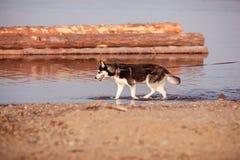 el perro está caminando Imagen de archivo