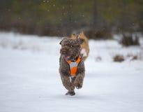 El perro está corriendo en la nieve Imagen de archivo libre de regalías