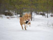 El perro está corriendo en la nieve Fotografía de archivo libre de regalías