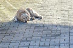El perro está descansando Fotos de archivo libres de regalías