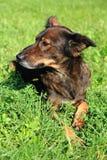 el perro está descansando en la hierba Foto de archivo libre de regalías