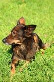 el perro está descansando en la hierba Imagenes de archivo