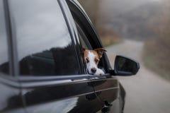El perro está en el coche viaje del animal doméstico imagen de archivo libre de regalías