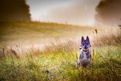 El perro está en la caza imagen de archivo libre de regalías