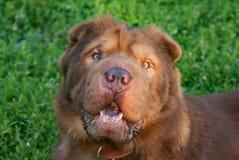 El perro está llevando un cuello de perro Fotografía de archivo libre de regalías