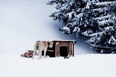El perro está masticando un hueso cerca de la cabina en el invierno Foto de archivo libre de regalías