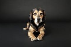 El perro está mintiendo en el fondo negro Imagen de archivo