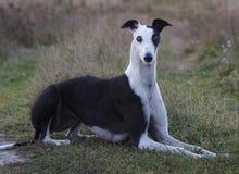 el perro está mintiendo en la hierba imagen de archivo libre de regalías