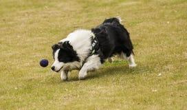 El perro está persiguiendo la bola azul en un momento Fotografía de archivo