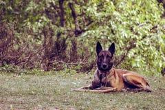 El perro está presentando para la imagen en la yarda, Serbia Imágenes de archivo libres de regalías