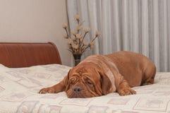 El perro falta su amo que miente en su cama Foto de archivo libre de regalías