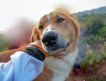 El perro feliz con la lengua hacia fuera y la inclinación de la cabeza, persigue la mano feliz y del perro imagen de archivo libre de regalías