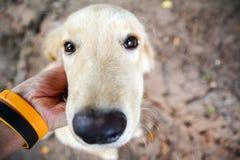 El perro feliz con la lengua hacia fuera y la inclinación de la cabeza, persigue la mano feliz y del perro fotos de archivo libres de regalías