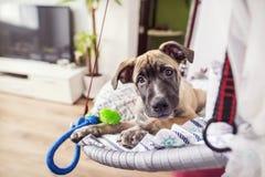 El perro feliz joven miente en una butaca en casa Foto de archivo libre de regalías