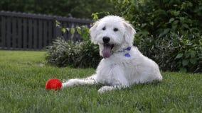 El perro feliz mira la cámara cerca del juguete rojo del Chew