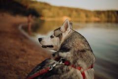 El perro fornido gris siberiano se coloca y anticipa el lago está en el fondo imagen de archivo