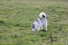 El perro fornido lindo camina en un campo Imagen de archivo libre de regalías