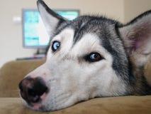 El perro fornido mira maravillosamente con diversos ojos Fotos de archivo