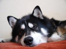 El perro fornido parece hermoso Foto de archivo libre de regalías