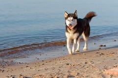 El perro fornido que corría en el borde del ` s del agua, el perro que corría en la playa, el perro se pegó hacia fuera la lengua imagen de archivo