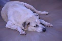 El perro gordo está durmiendo Imágenes de archivo libres de regalías