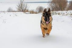 El perro grande corre rápidamente en la nieve blanca fotografía de archivo