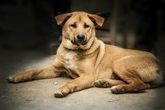 El perro grande está mintiendo mamífero pet Perro fotos de archivo libres de regalías