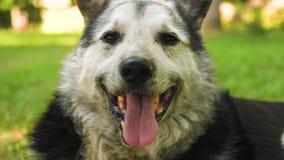 El perro grande miente en césped verde y guarda la casa el perro lanudo grande es caliente en verano el perro se pegó hacia fuera metrajes