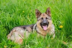 El perro grande miente en las actitudes la lengua que cuelga hacia fuera Shephe alemán Foto de archivo