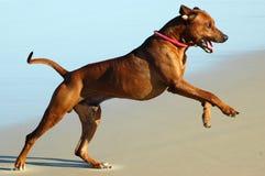 El perro grande salta Imagen de archivo
